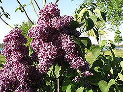 Monge Lilac (Syringa vulgaris 'Monge') at Town And Country Gardens