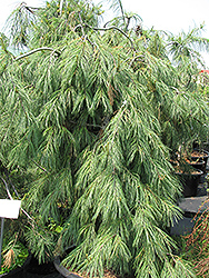 Weeping White Pine (Pinus strobus 'Pendula') at Town And Country Gardens