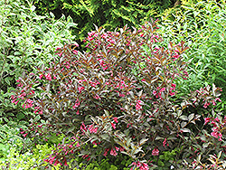 Midnight Wine® Weigela (Weigela florida 'Elvera') at Town And Country Gardens