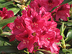 Nova Zembla Rhododendron (Rhododendron 'Nova Zembla') at Town And Country Gardens