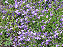 Birch Hybrid Bellflower (Campanula 'Birch Hybrid') at Town And Country Gardens