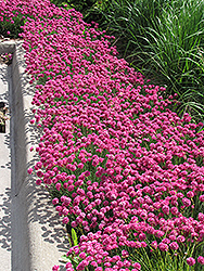 Dusseldorf Pride Sea Thrift (Armeria maritima 'Dusseldorf Pride') at Town And Country Gardens