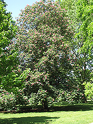 Red Horse Chestnut (Aesculus x carnea) at Town And Country Gardens