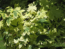 Variegated Norway Maple (Acer platanoides 'Variegatum') at Town And Country Gardens