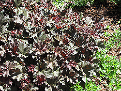 Purple Petticoats Coral Bells (Heuchera 'Purple Petticoats') at Town And Country Gardens