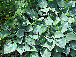 Blue Moon Hosta (Hosta 'Blue Moon') at Town And Country Gardens