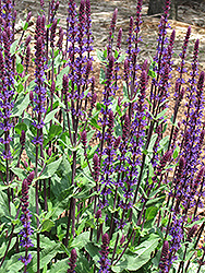 Caradonna Sage (Salvia x sylvestris 'Caradonna') at Town And Country Gardens