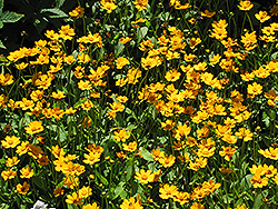 Dwarf Tickseed (Coreopsis auriculata 'Nana') at Town And Country Gardens