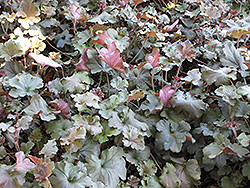Cappuccino Coral Bells (Heuchera 'Cappuccino') at Town And Country Gardens