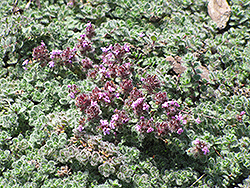 Wooly Thyme (Thymus pseudolanuginosis) at Town And Country Gardens