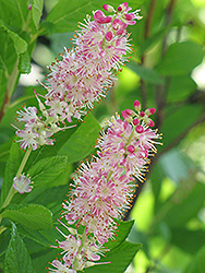 Ruby Spice Summersweet (Clethra alnifolia 'Ruby Spice') at Town And Country Gardens