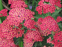Paprika Yarrow (Achillea millefolium 'Paprika') at Town And Country Gardens
