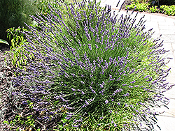 Grosso Lavender (Lavandula x intermedia 'Grosso') at Town And Country Gardens