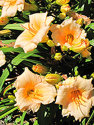 Mini Pearl Daylily (Hemerocallis 'Mini Pearl') at Town And Country Gardens