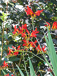 Lucifer Crocosmia (Crocosmia 'Lucifer') at Town And Country Gardens
