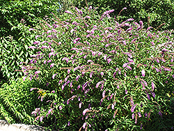 Petite Plum Butterfly Bush (Buddleia davidii 'Petite Plum') at Town And Country Gardens