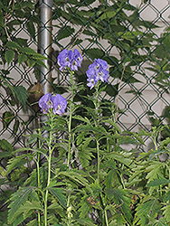 Autumn Monkshood (Aconitum carmichaelii 'Arendsii') at Town And Country Gardens
