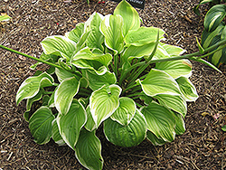 Fragrant Bouquet Hosta (Hosta 'Fragrant Bouquet') at Town And Country Gardens