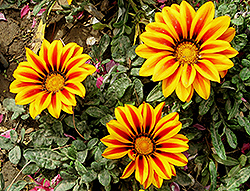 Treasure Flower (Gazania rigens) at Town And Country Gardens