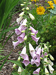 Foxy Foxglove (Digitalis purpurea 'Foxy') at Town And Country Gardens