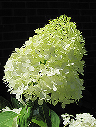 Limelight Hydrangea (Hydrangea paniculata 'Limelight') at Town And Country Gardens