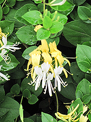 Hall's Japanese Honeysuckle (Lonicera japonica 'Halliana') at Town And Country Gardens