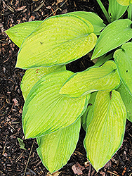 Inniswood Hosta (Hosta 'Inniswood') at Town And Country Gardens