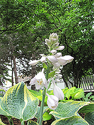 Sugar Daddy Hosta (Hosta 'Sugar Daddy') at Town And Country Gardens