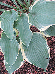 Regal Splendor Hosta (Hosta 'Regal Splendor') at Town And Country Gardens
