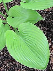Sum and Substance Hosta (Hosta 'Sum and Substance') at Town And Country Gardens
