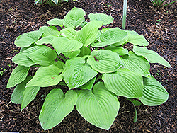 August Moon Hosta (Hosta 'August Moon') at Town And Country Gardens