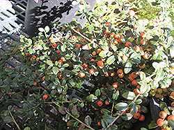 Lowfast Cotoneaster (Cotoneaster dammeri 'Lowfast') at Town And Country Gardens