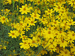 Zagreb Tickseed (Coreopsis verticillata 'Zagreb') at Town And Country Gardens