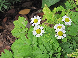 Feverfew (Tanacetum parthenium) at Town And Country Gardens