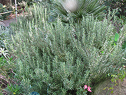 Tuscan Blue Rosemary (Rosmarinus officinalis 'Tuscan Blue') at Town And Country Gardens