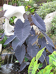 Black Magic Elephant Ear (Colocasia esculenta 'Black Magic') at Town And Country Gardens