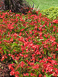 Dragon Wing Red Begonia (Begonia 'Dragon Wing Red') at Town And Country Gardens