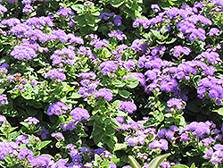 Hawaii Blue Flossflower (Ageratum 'Hawaii Blue') at Town And Country Gardens