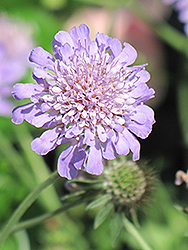 Butterfly Blue Pincushion Flower (Scabiosa 'Butterfly Blue') at Town And Country Gardens
