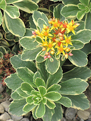 Variegated Russian Stonecrop (Sedum kamtschaticum 'Variegatum') at Town And Country Gardens