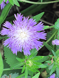 Blue Danube Aster (Stokesia laevis 'Blue Danube') at Town And Country Gardens