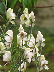 Common White Monkshood (Aconitum napellus 'Album') at Town And Country Gardens