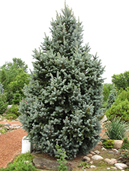 Iseli Fastigiate Spruce (Picea pungens 'Iseli Fastigiata') at Town And Country Gardens