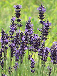 Hidcote Superior Lavender (Lavandula angustifolia 'Hidcote Superior') at Town And Country Gardens