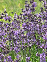 English Lavender (Lavandula angustifolia) at Town And Country Gardens