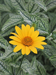 Loraine Sunshine False Sunflower (Heliopsis helianthoides 'Loraine Sunshine') at Town And Country Gardens