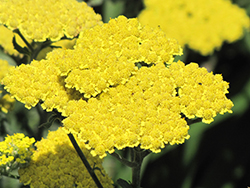 Moonshine Yarrow (Achillea 'Moonshine') at Town And Country Gardens