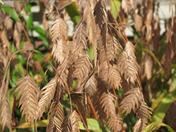 Northern Sea Oats (Chasmanthium latifolium) at Town And Country Gardens