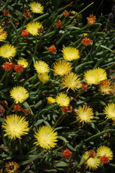 Yellow Ice Plant (Delosperma nubigenum) at Town And Country Gardens