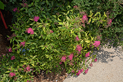 Double Play® Painted Lady® Spirea (Spiraea japonica 'Minspi') at Town And Country Gardens